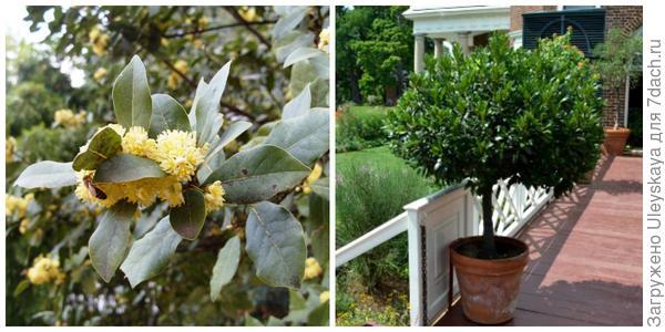 Лавр благородный, фото автора. Лавр благородный. Фото с сайта floradoma.com