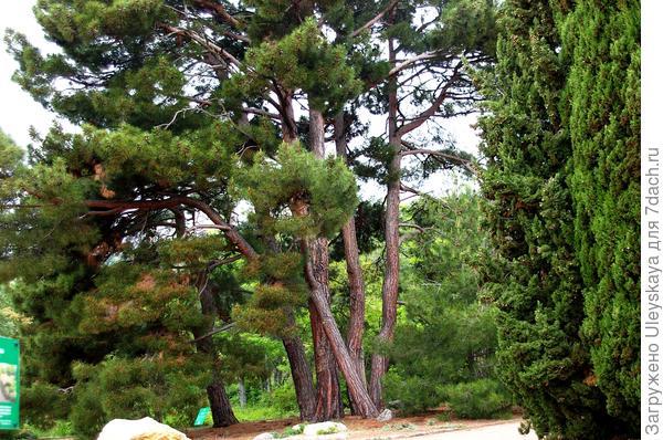 Сосна пицундская в парке Монтедор Никитского ботанического сада (Сада) чудесно пахнет не только в жаркий, но и в пасмурный день, фото автора