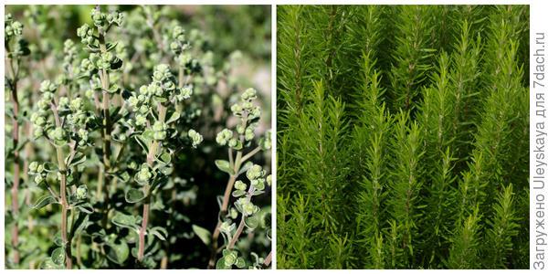 В аромате майорана садового и розмарина лекарственного слышна сосна, фото автора