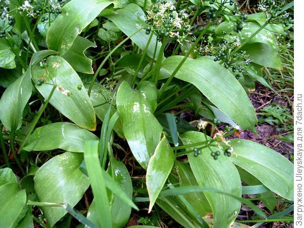 Молодые листья лука медвежьего имеют сильный не луковый, а чесночный запах