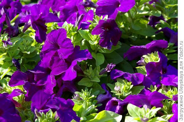 Цветки петунии ярче пахнут в вечернее время