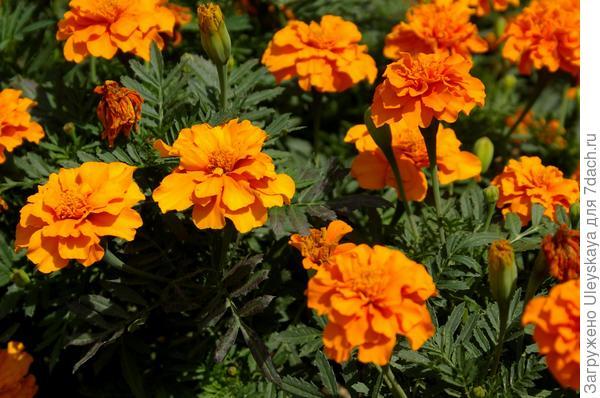 Бальзамический аромат бархатцев особенно ощутим при растирании листьев и цветков
