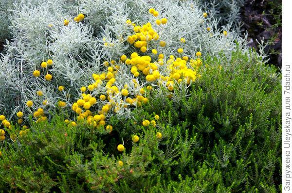 Сантолина кипарисовидная обладательница серебристых ажурных листьев с бальзамическим запахом, фото автора