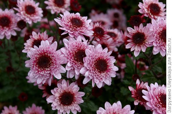 Хризантема мелкоцветковая сорт Target
