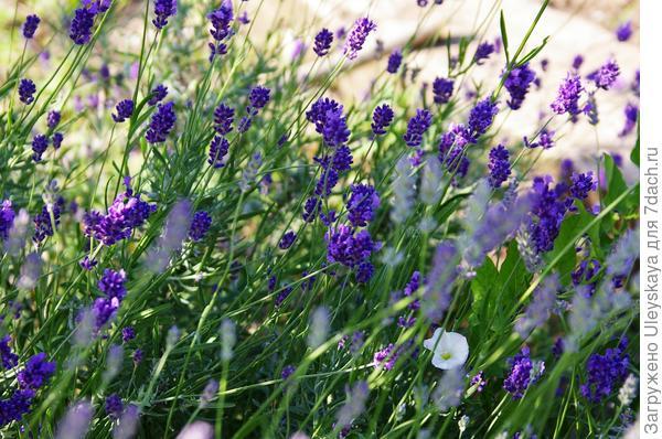 Цветет лаванда узколистная