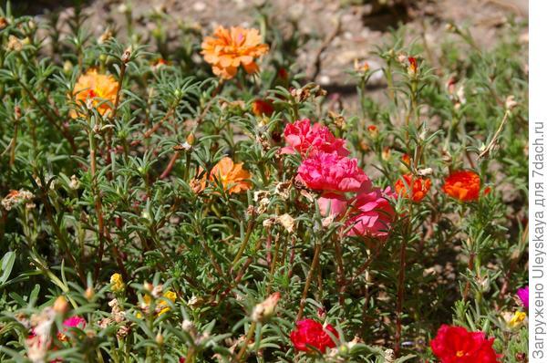Цветет портулак крупноцветковый