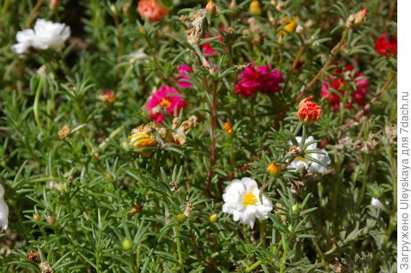 Портулак крупноцветковый в цветении