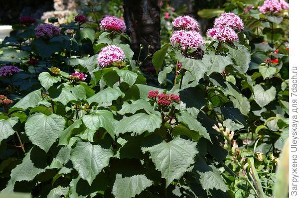 Цветет клеродендрон Бунге