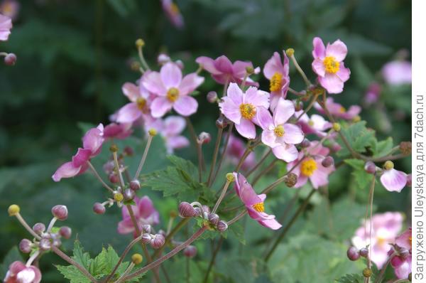 Цветет анемона японская