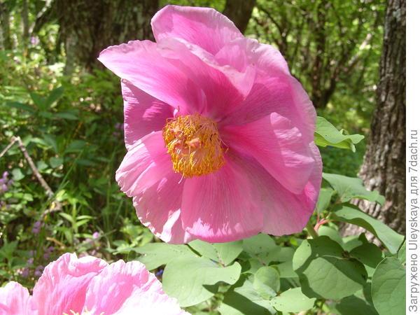 Цветет пион крымский