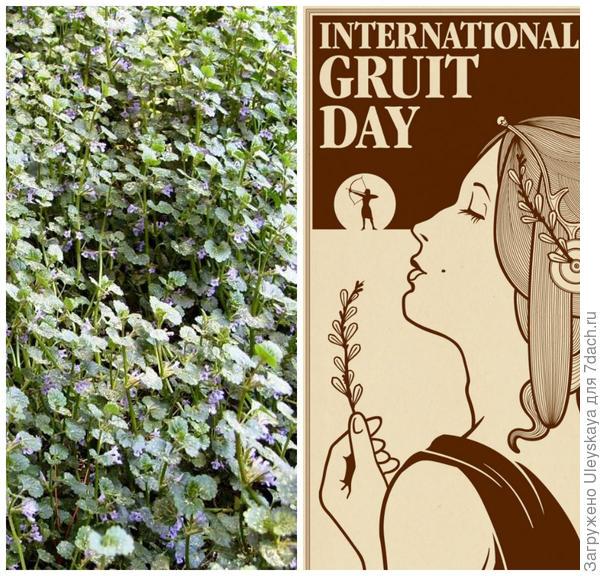 Будра плющевидная, фото автора. Традиционный день травяного пива. Фото с сайта spentcollective.de