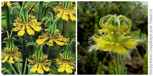 Нигелла восточная Трансформер. Фото с сайта semenapost.ru. Экзотический цветок нигеллы с желтыми прицветниками. Фото с сайта euro-les.ru
