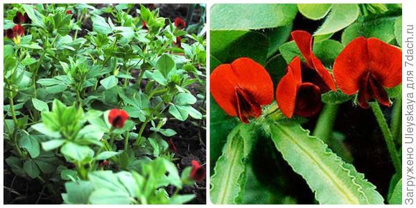 Спаржевый горох Салоники. Фото с сайта sadisibiri.ru. Его отдельный цветок. Фото с сайта asienda.ru