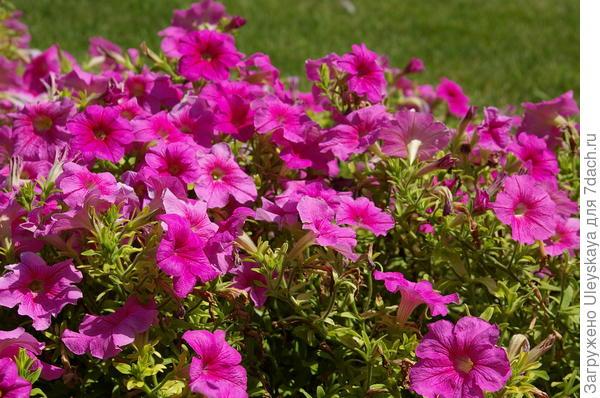 Ярких красок летом в цветниках добавит петуния