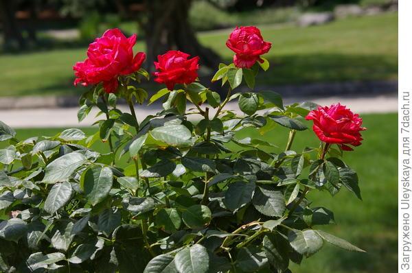 Прованс без роз не мыслим