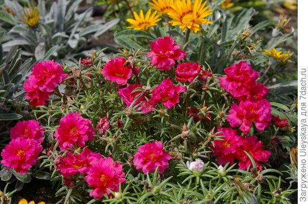 На переднем плане цветников хорош будет махровый портулак крупноцветковый