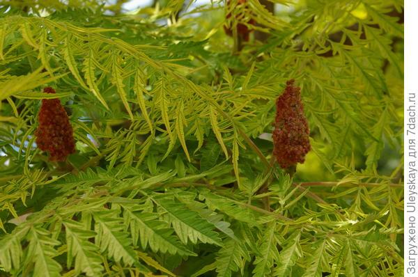 Сумах оленерогий Laciniata Aurea