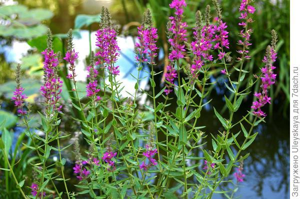 Дербенник иволистный в июле в Никитском ботаническом саду