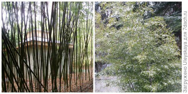 Фрагмент бамбуковой рощи и бамбук в снегу в Никитском ботаническом саду, фото автора