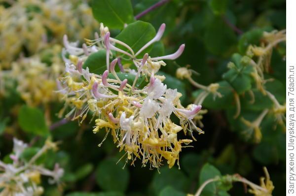 Цветет жимолость этрусская в мае