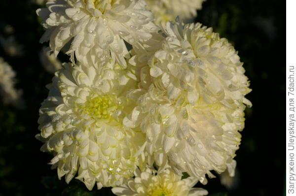 Хризантема сорт Zembla White после дождя