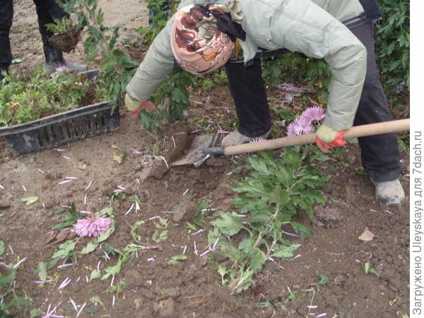 Выкопка хризантем