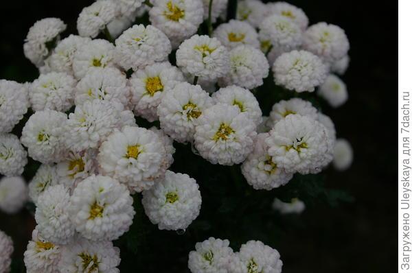 Хризантема сорт Gipsophila
