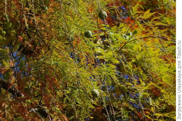Болотный кипарис осенью