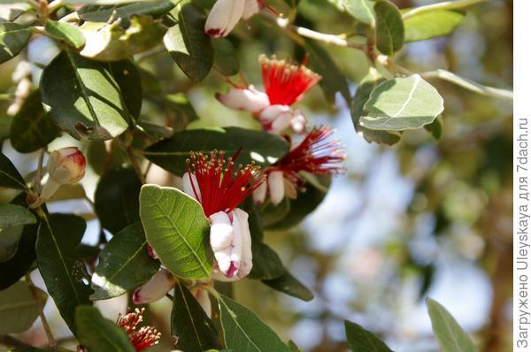 В Приморском парке НБС цветет фейхоа
