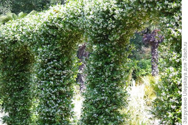 В Приморском парке НБС арка их трахелоспермума жасминовидного