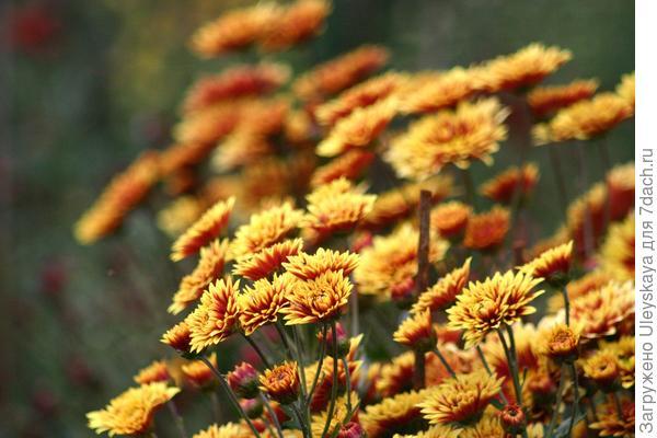 Цветут хризантемы в Никитском ботаническом саду, фото автора