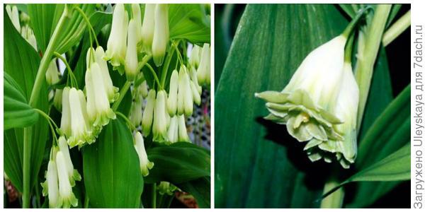 Купена душистая Flore Pleno, внешний вид. Фото с сайта farreachesfarm.com. Её махровые цветки крупным планом. Фото с сайта staging.rhs.org.uk