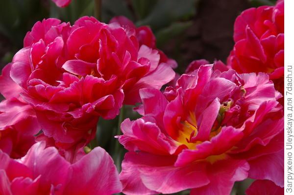 Тюльпан садовый сорт Chato, фото автора