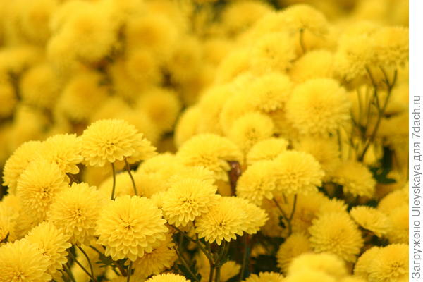 Мелкоцветковые махровые хризантемы, фото автора