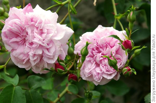 Роза сорт Duc de Constantine