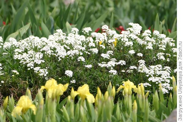 Карликовые ирисы и иберис вечнозеленый
