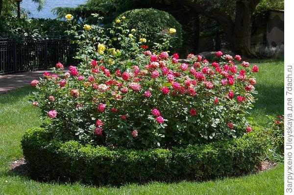 Розы в кругах в античном саду