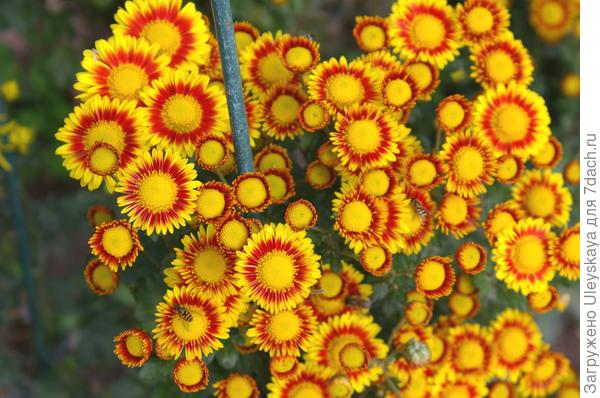 Сорт Надежда вначале цветения, фото автора