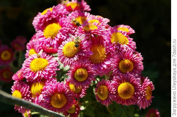 Сорт Жонглер в начале цветения, фото автора