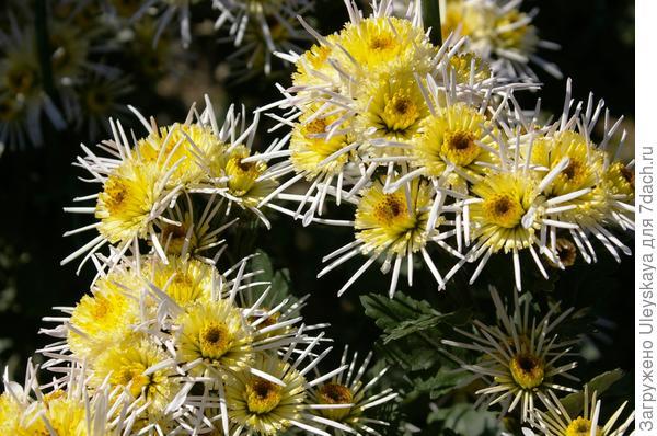 Сорт Везувий в начале цветения, фото автора