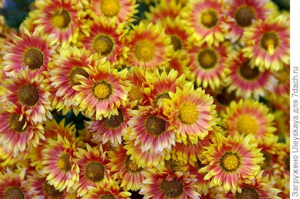 Сорт Надежда в конце цветения, 23 ноября, фото автора