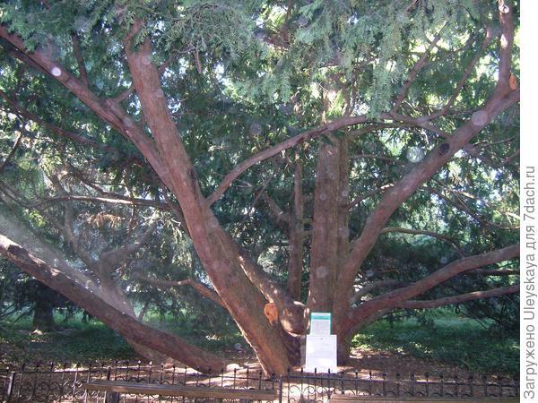 Этому тису ягодному в Никитском ботаническом саду 700 лет