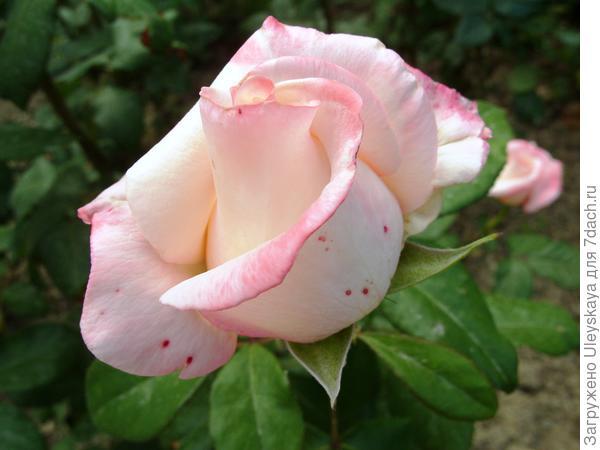 Роза садовая сорт Anna
