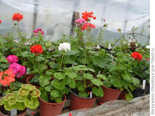 Маточные растения пеларгонии