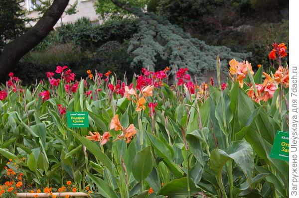 Канны на выставочном участке в Никитском ботаническом саду