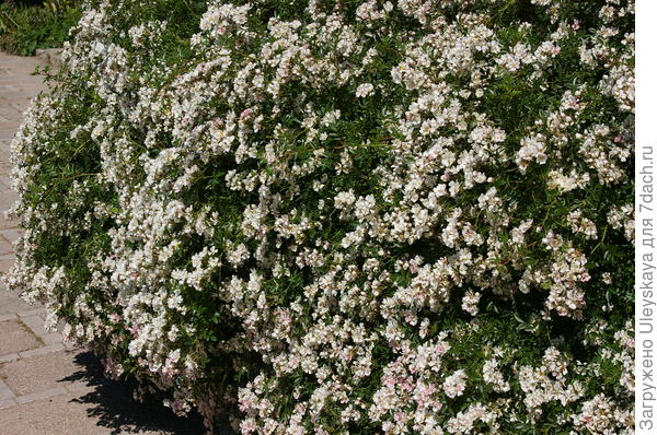 Фрагмент живой изгороди из розы сорта Nozomi