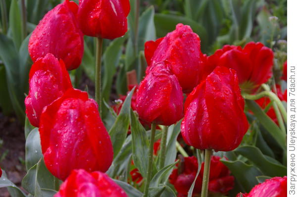 Роскошный сорт Margaret Herbst из тюльпанов Грейга