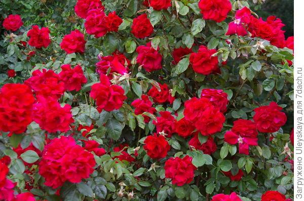 роза фонтейн плетистая сначала пройти понизу