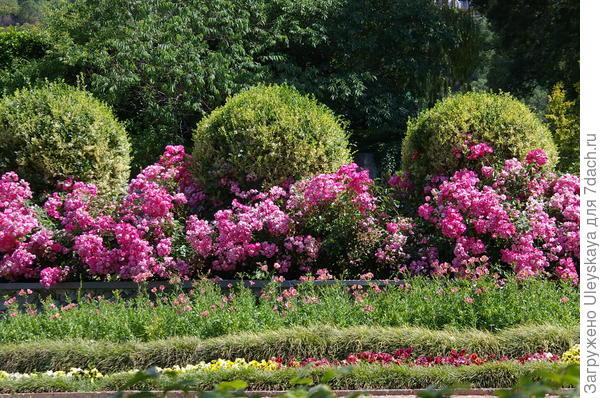Бирючина овальнолистная золотистая в овальной стрижке за розами