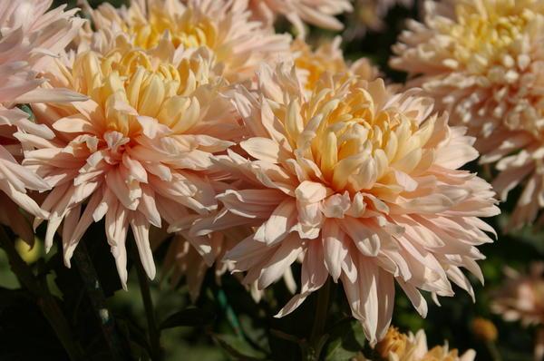 Как и другие сорта, хризантему Avignon Pink размножают черенкованием